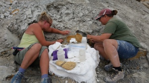 Excavating a small ornithischian in the Mussentuchit