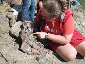 Pachyrhinosaurus squamosal at the Wapiti River Bonebed